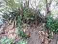 Sansevieria sp. Mape 3 (6849959667).jpg