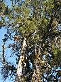 Santa Cruz Cypress (9618882166).jpg