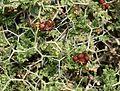 Sarcopoterium spinosum (Thorny Burnet) - Flickr - S. Rae.jpg