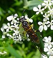 Sawfly. Tenthredo species - Flickr - gailhampshire (1).jpg