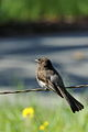 Sayornis nigricans -Black Phoebe on a wire.jpg