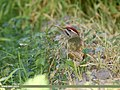 Scaly-bellied Woodpecker (Picus squamatus) (36145265642).jpg