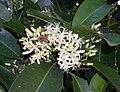 ScentedAcronychia-flowers2.JPG
