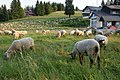 Schafe, Hebelhof, Feldberg - geo.hlipp.de - 23534.jpg