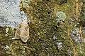 Schistophleps bipuncta (46578791972).jpg