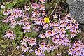 Schizanthus litoralis.jpg