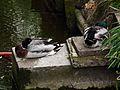 Schlafende Stockentenerpel Mai 2012 Kißlegg.JPG