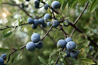 Schlehdorn (Prunus spinosa) Nationalpark Donau-Auen Orth an der Donau 2012 c.jpg