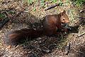 Sciurus vulgaris - MHNT - 2012-06-24.jpg