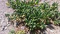 Sclerophylax spinescens La Gomera.jpg