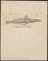 Scorpaena gibbosa - 1700-1880 - Print - Iconographia Zoologica - Special Collections University of Amsterdam - UBA01 IZ13300031.tif