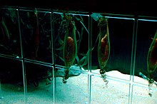 photo of nursehound egg capsules hanging in an aquarium, some cut open to show the embryo sharks inside