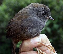240px scytalopus griseicollis morenoi (26041458852)