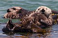 Sea Otter mother with one baby pup (9168550173).jpg