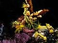 Sea cucumber grouping komodo.jpg