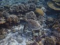 Sea turtle at Makunudu island in Maldives.jpg