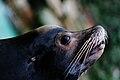 Seal - Zoo Dortmund - Germany.jpg