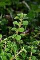 Sedum cepaea plant (32).jpg