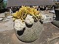 Sedum nussbaumerianum Madagascar05.jpg
