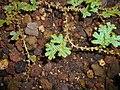 Selaginella uncinata 2017-05-31 2574.jpg