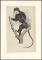 Semnopithecus latibarbatus - 1749-1842 - Print - Iconographia Zoologica - Special Collections University of Amsterdam - UBA01 IZA1000863.tif
