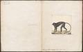 Semnopithecus maurus - 1700-1880 - Print - Iconographia Zoologica - Special Collections University of Amsterdam - UBA01 IZ19900012.tif