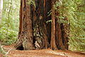 Sequoia sempervirens Big Basin Redwoods State Park 5.jpg