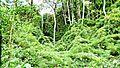 Serra do Japi Trecho invadido por taquari (Poaceae), uma gramínea invasora que tende a homogeneizar a área. - panoramio.jpg
