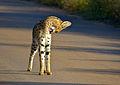 Serval (Leptailurus serval) (14031046552).jpg
