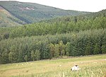 File:Sheep, Elibank Forest - geograph.org.uk - 534972.jpg