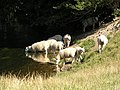 Sheep drinking from the River Wylye - geograph.org.uk - 282976.jpg