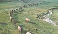 Sheep herding in Moldova (80-ies).jpg