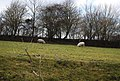Sheep near Furnace Mill - geograph.org.uk - 1757502.jpg