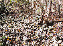 Conch and whelk shells among trees