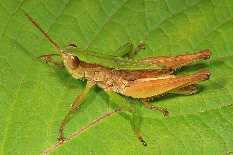 Short-Winged Green Grasshopper (Dichromorpha viridis)