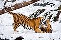 Siberian Tigers (32776227812).jpg