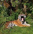 Sibirischer Tiger Panthera tigris altaica Tierpark Hellabrunn-16.jpg