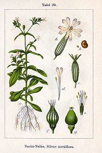 Silene noctiflora Sturm20