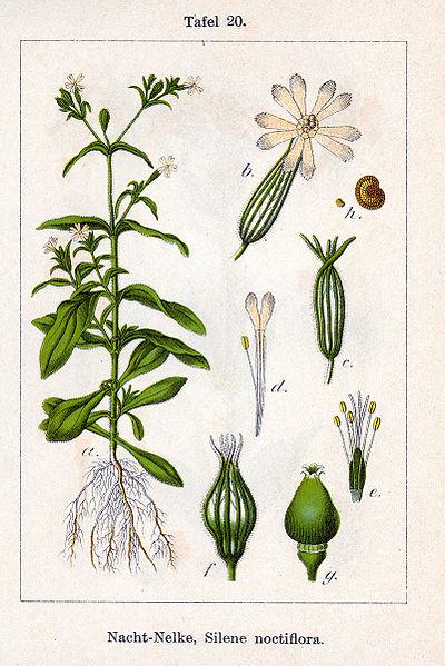 File:Silene noctiflora Sturm20.jpg