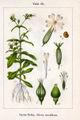 Silene noctiflora Sturm20.jpg