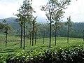 Silver Oaks,tea gardens,Valparai,Tamilnadu - panoramio.jpg
