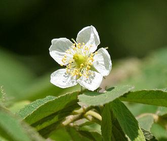 Muntingia - Flower close-up.