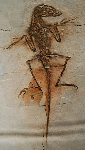 Microraptoria - Image: Sinornithosaurus Dave NGMC91