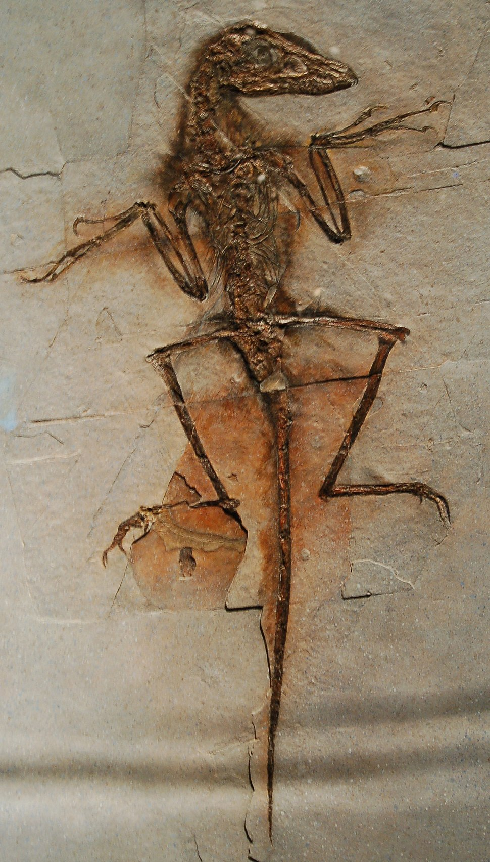 Sinornithosaurus Dave NGMC91