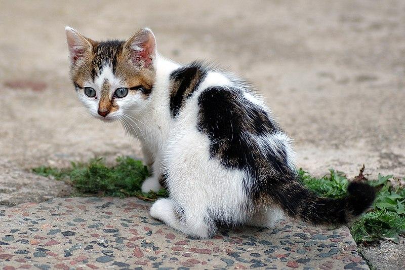 File:Six weeks old cat (aka).jpg