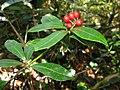 Skimmia japonica var. intermedia f. repens 4.JPG