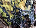 Slime mould on old willow bark (31885229144).jpg