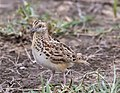 Small Buttonquail (48299023346).jpg