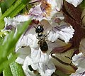 Small Carpenter Bee. Ceratina sp. female on Orobanche (32117567912).jpg