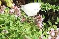 Small white (NH13) (10823715574).jpg